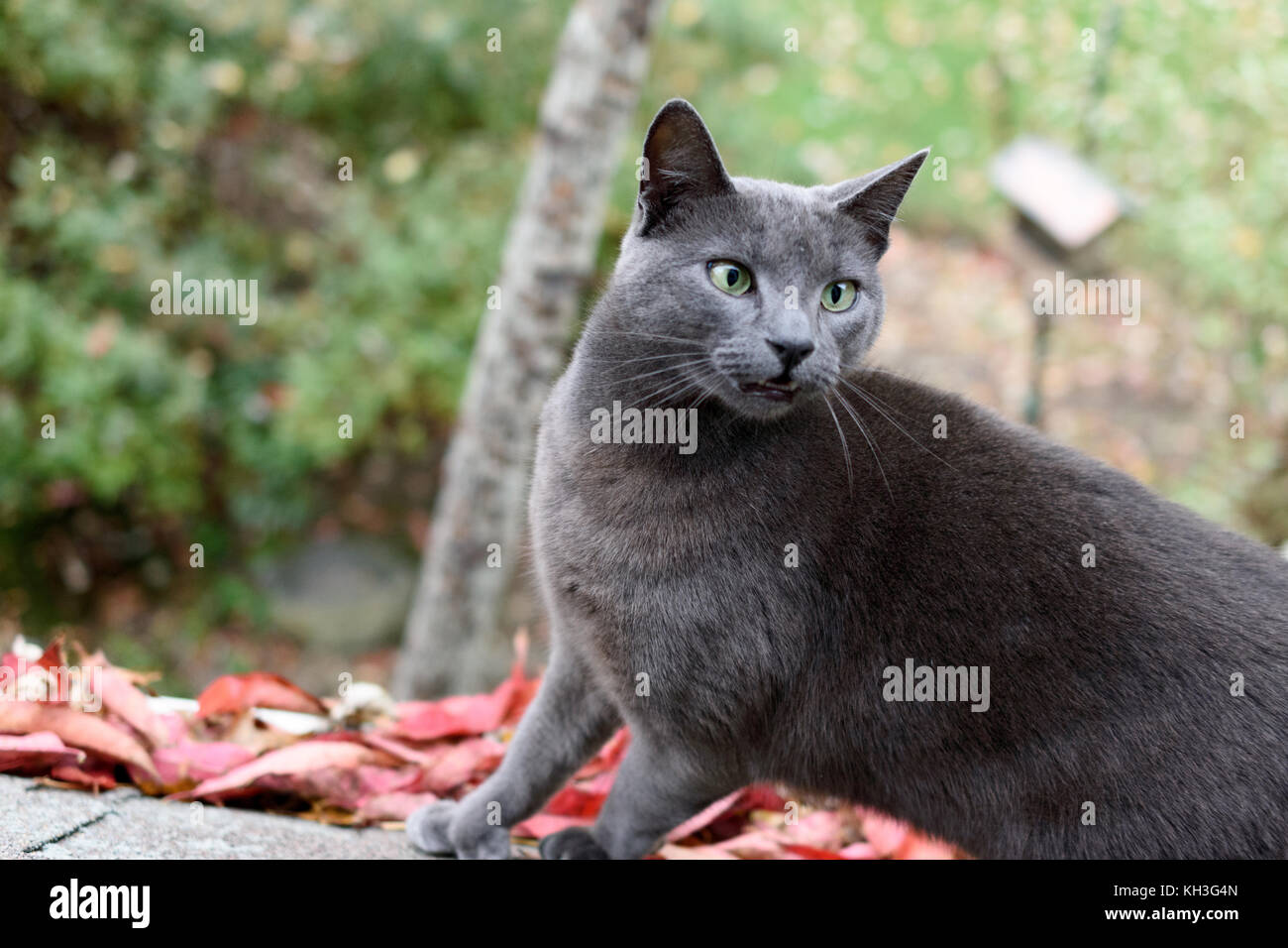 Russian Blue Cat Green Eyes Stock s & Russian Blue Cat Green