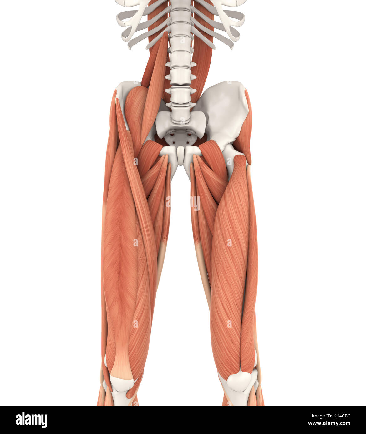 Upper Legs And Psoas Muscles Anatomy Stock Photo 165440000 Alamy