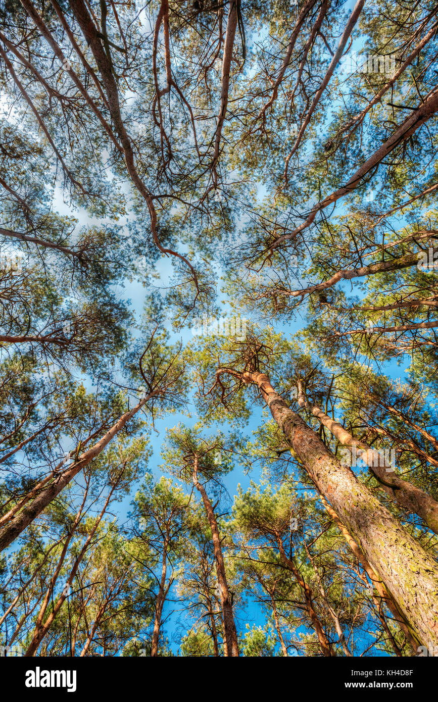 Canopy Of Tall Pine Trees. Upper Branches Of Woods In Coniferous Forest. Low Angle View. Summer Pinewood Bottom Wide Angle View Of Tall Thin Evergree & Canopy Of Tall Pine Trees. Upper Branches Of Woods In Coniferous ...
