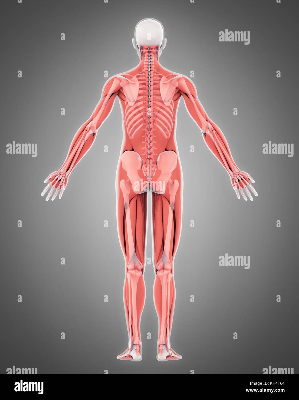 Skeletal Muscle Stock Photos & Skeletal Muscle Stock ...