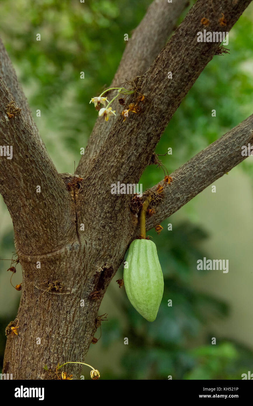 CACAO TREE (THEOBROMA CACAO) WITH CACAO SEED PODS GROWING IN THE ...