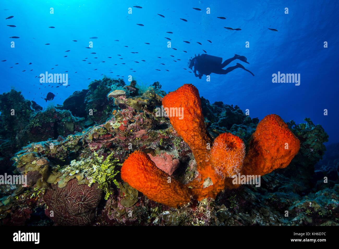 Marine sponge stock photos marine sponge stock images alamy underwater seascape marine sponge and scuba diver at little cayman stock image reviewsmspy