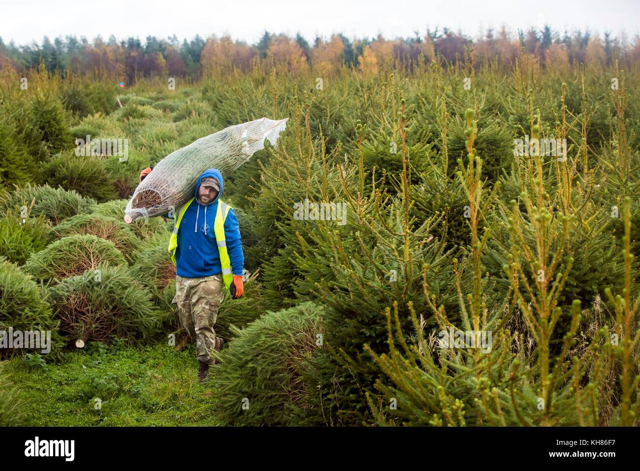 A Forestry Commission employee carries a sustainably grown Christmas ...