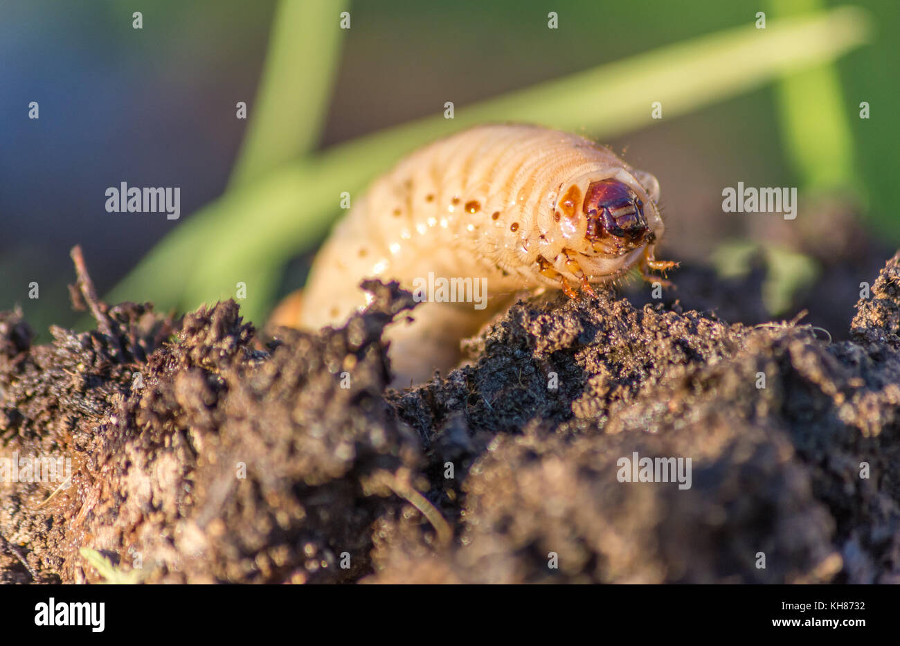 Compost Worm Stock Photos \u0026 Compost Worm Stock Images - Alamy