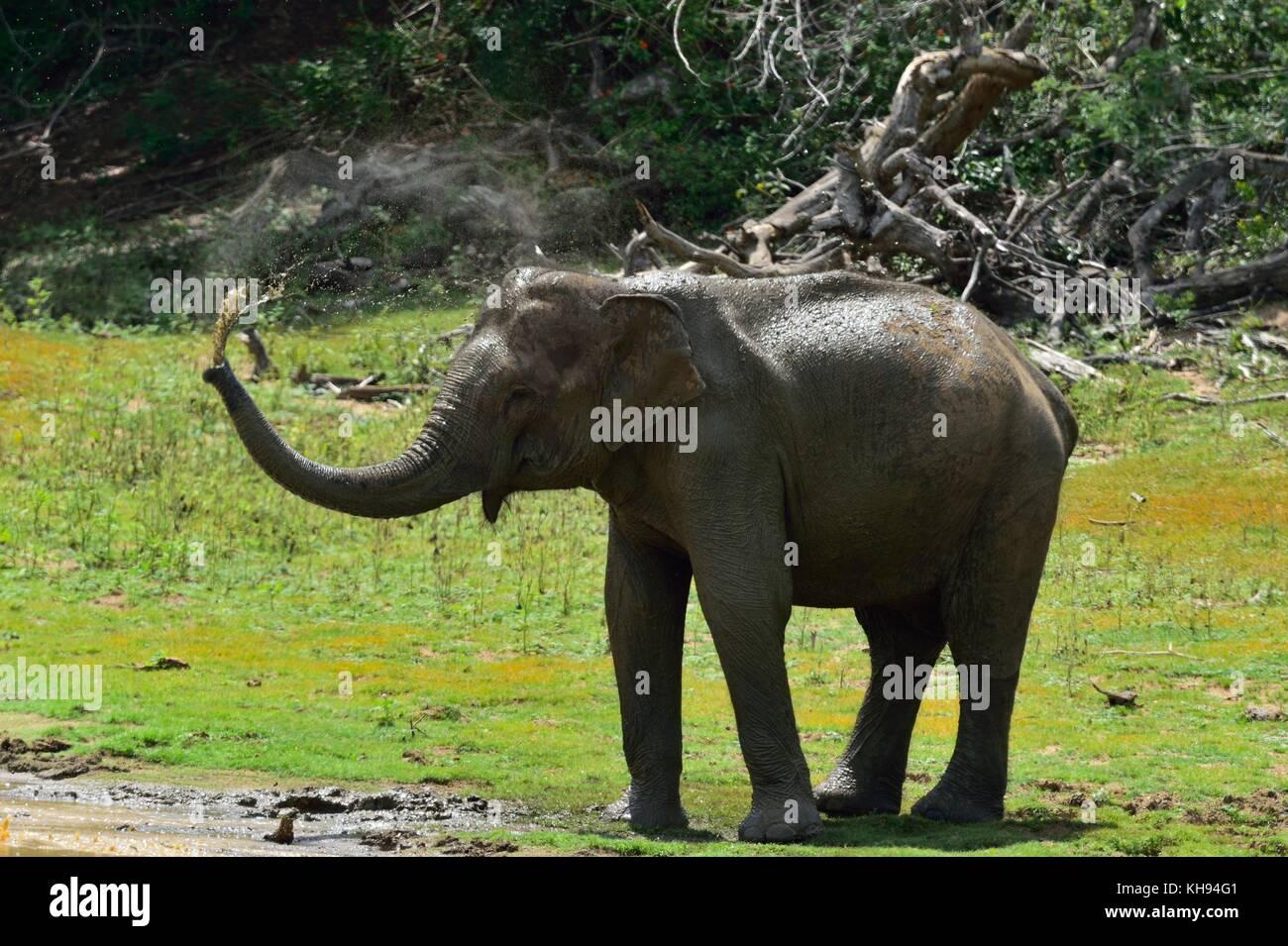 Bien connu Indian Asian Elephant Spraying Water Stock Photos & Indian Asian  CM88