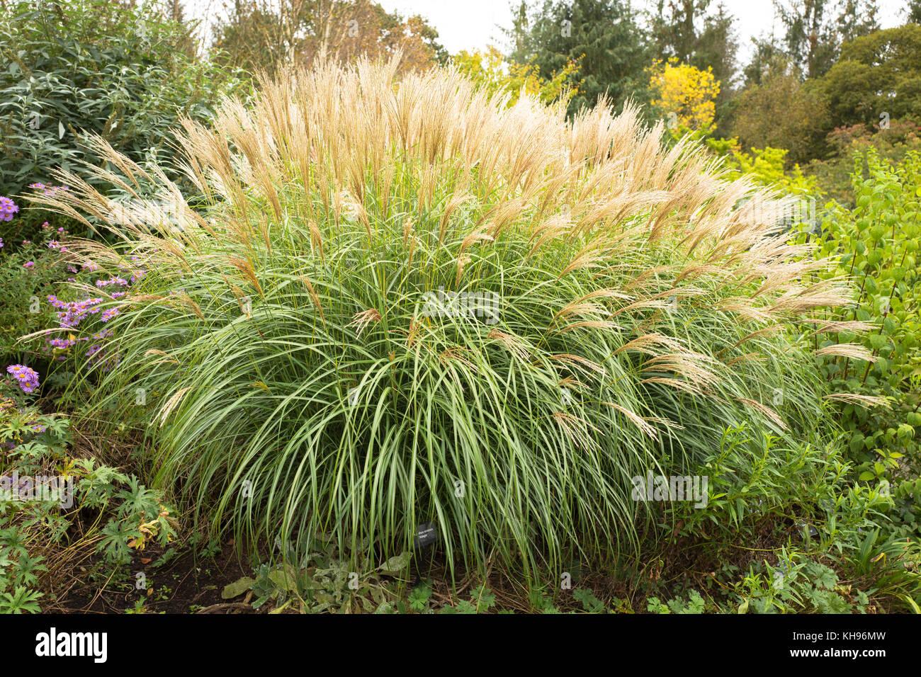 Hardy perennial ornamental stock photos hardy perennial for Flowering ornamental grasses