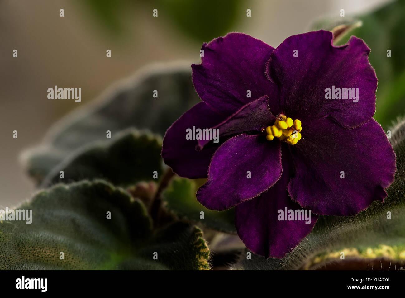 Dark Purple Flower Of Violet With Yellow Stamens Stock Photo