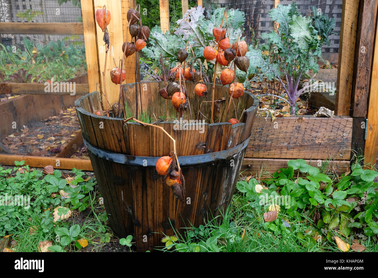 Chinese lantern plant with orange flowers in old wooden planter box ...