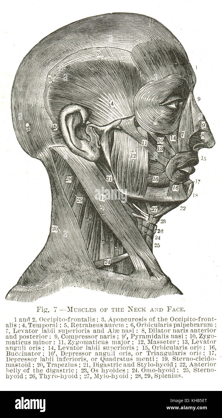 Muscles Of The Face And Neck 19th Century Illustration Stock Photo