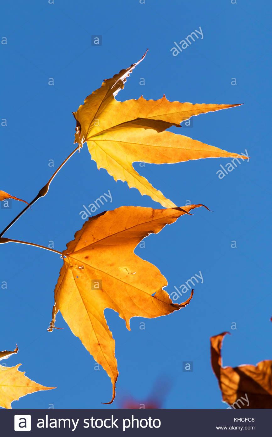 arizona-sycamore-platanus-wrightii-leaves-turning-in-fall-arizona-KHCFC6.jpg