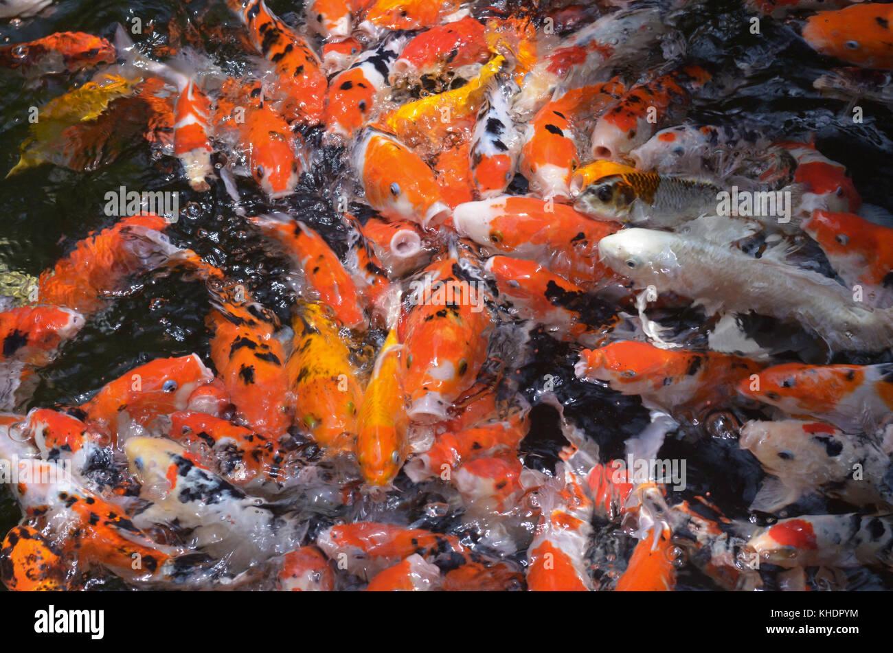 Amur carp stock photos amur carp stock images alamy for What to feed koi carp