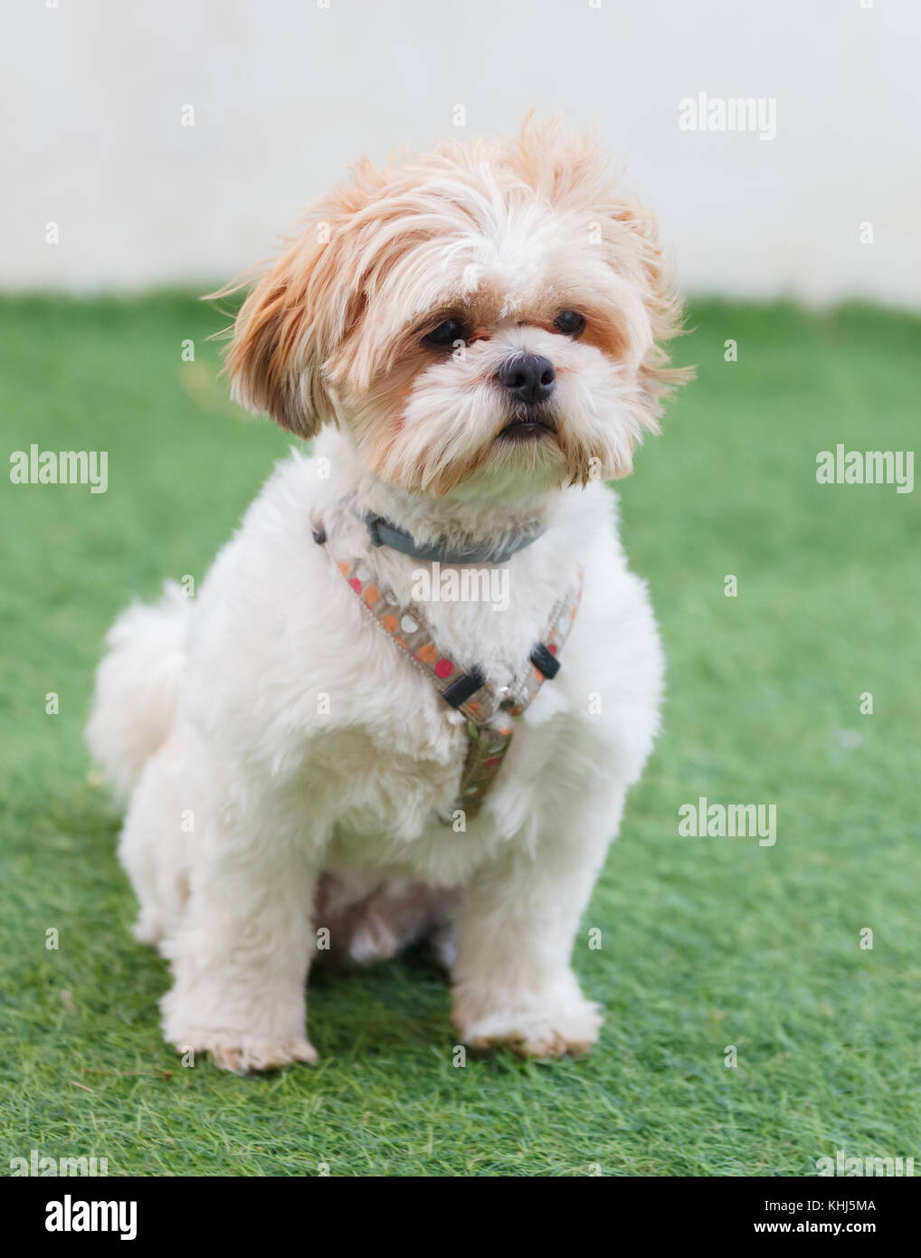 Portrait Of A Adorable Shih Tzu Dog With A Funny Face Stock Photo