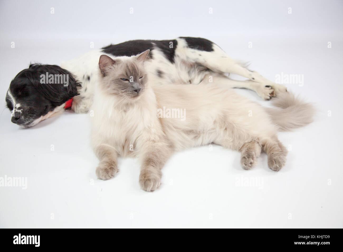 Ragdoll Cat Springer Spaniel In A Photoshoot Stock Photo