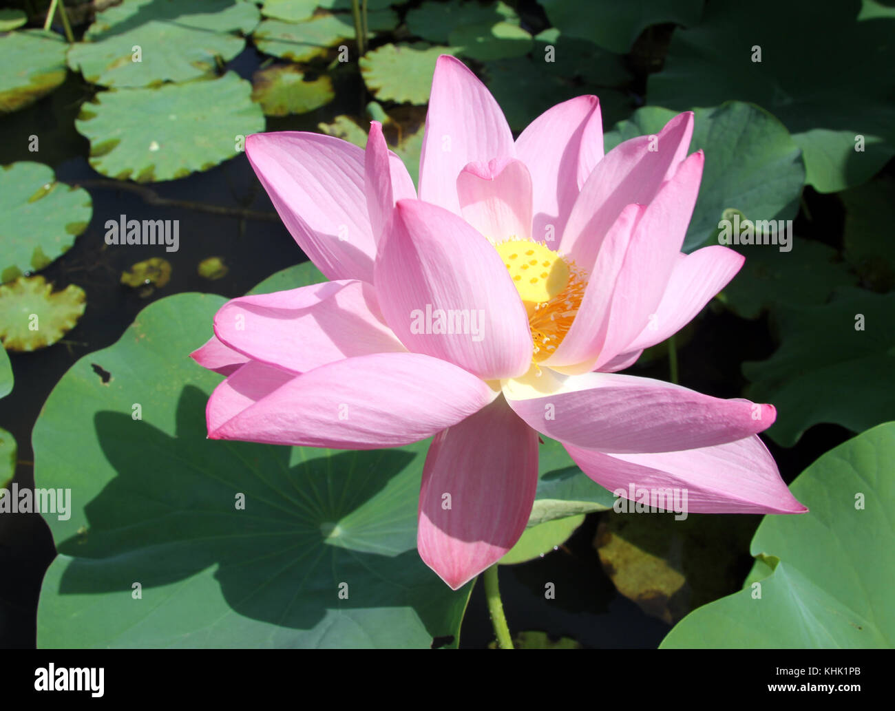 Big lotus flower and green leaves in pond stock photo royalty free big lotus flower and green leaves in pond mightylinksfo Image collections