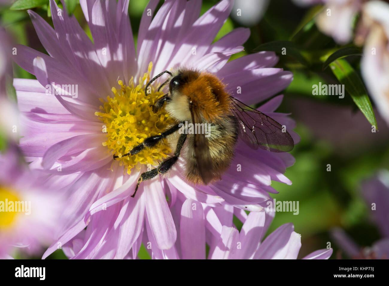 Brown Banded Carder Bee Bombus Humilis Stock Photos
