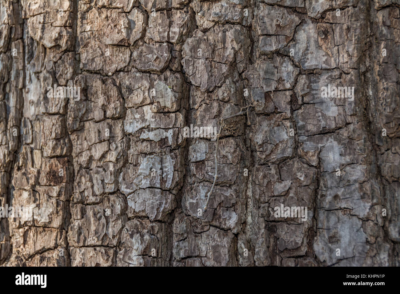 Furrowed Bark Stock Photos & Furrowed Bark Stock Images ...