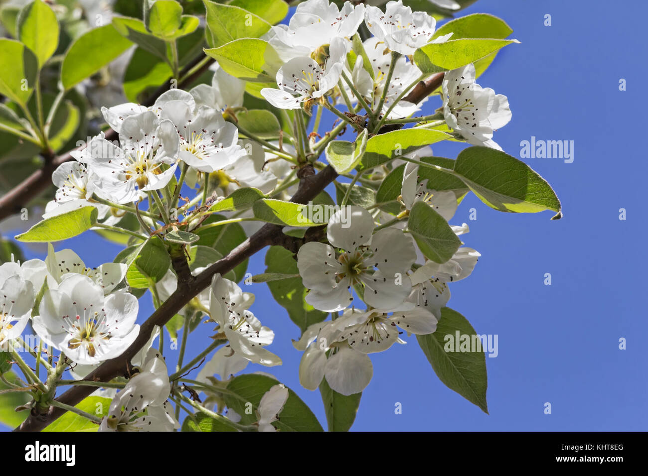 The Pear Tree With Lots Of Pink And White Flowers And Buds In A