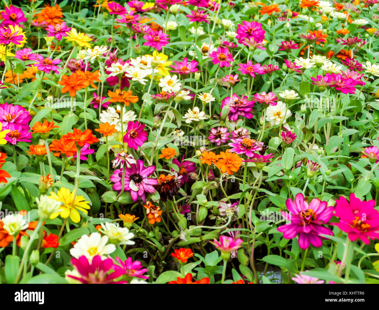 The Zinnia Flower Is One Of The Easiest Flowers To Grow In The Stock