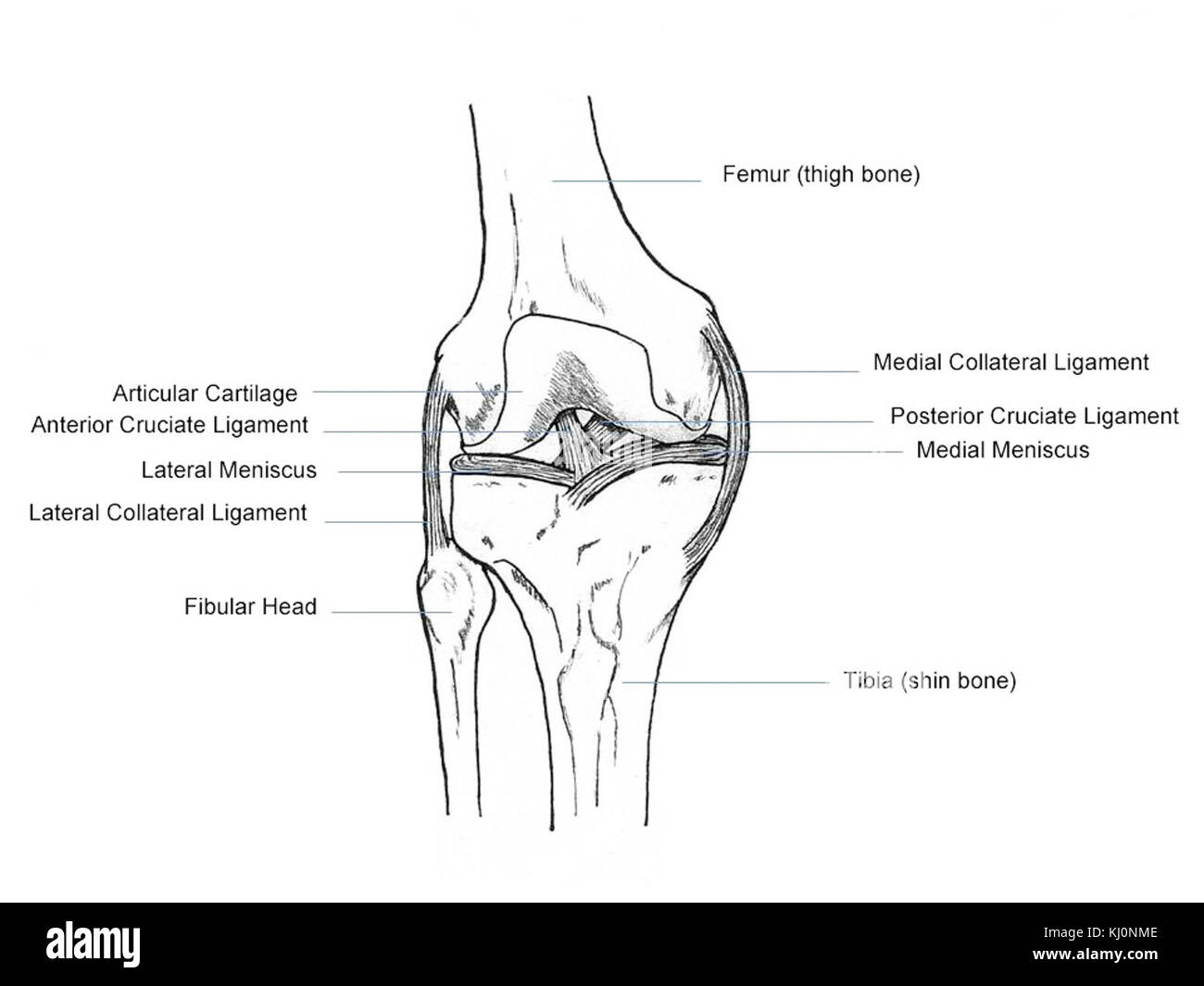 Human knee anatomy stock photo 165974158 alamy human knee anatomy ccuart Gallery
