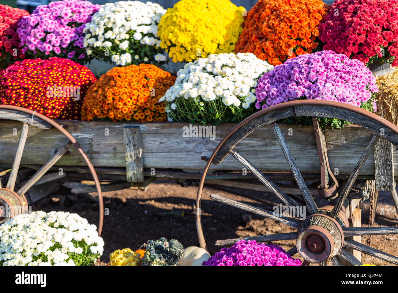 colorful fall mums on display in an old farm wagon stock photo