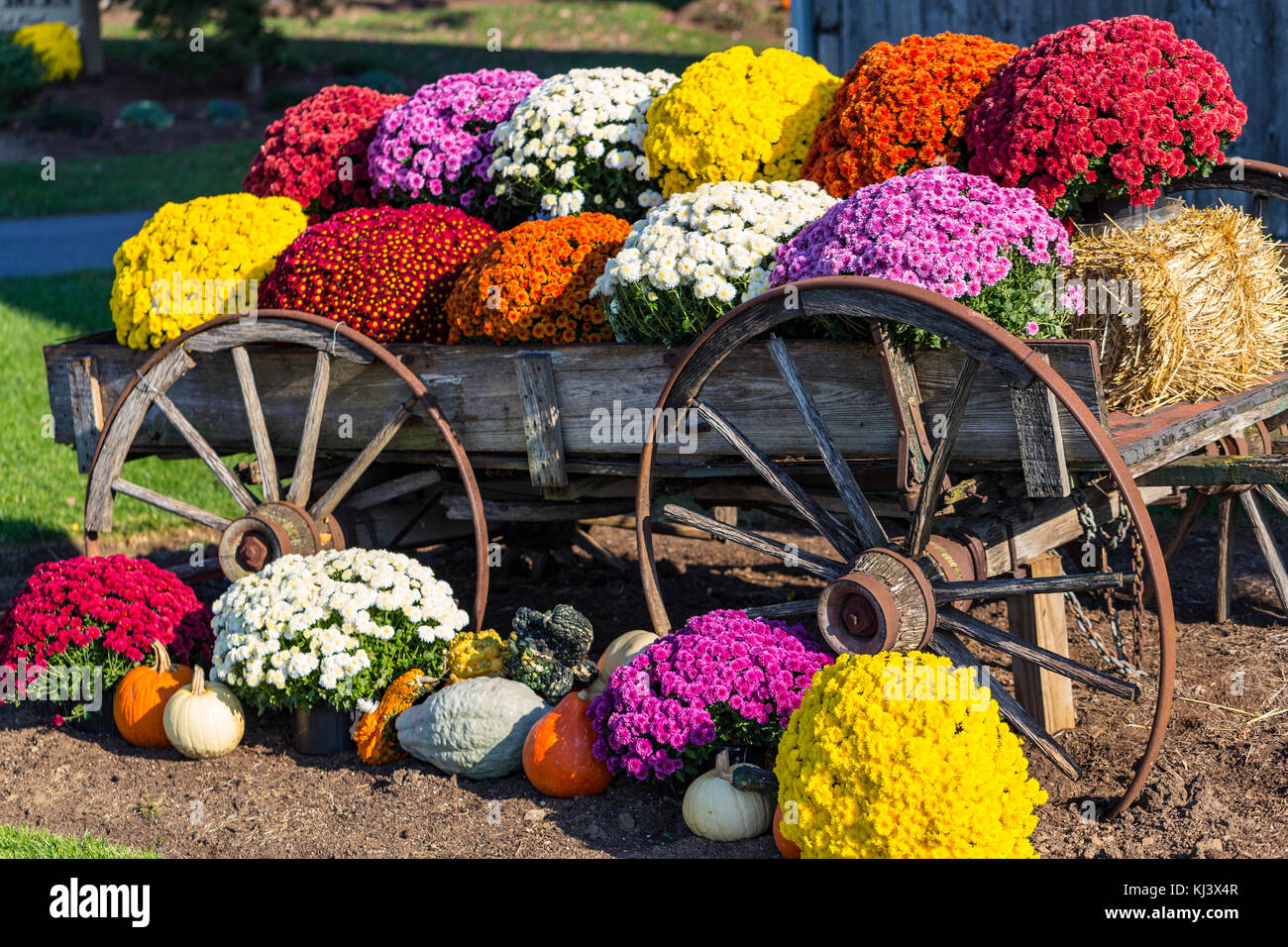 colorful fall mums in an old farm wagon stock photo 166043495 alamy