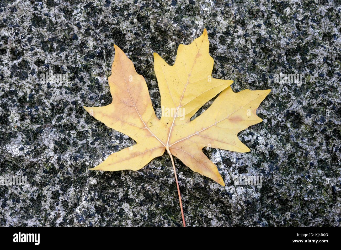 fallen-big-leaf-maple-tree-leaf-lying-on