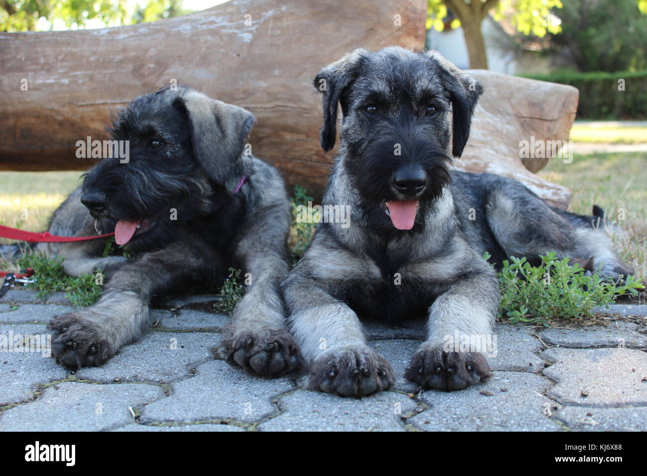 Salt And Pepper Giant Schnauzer Puppies