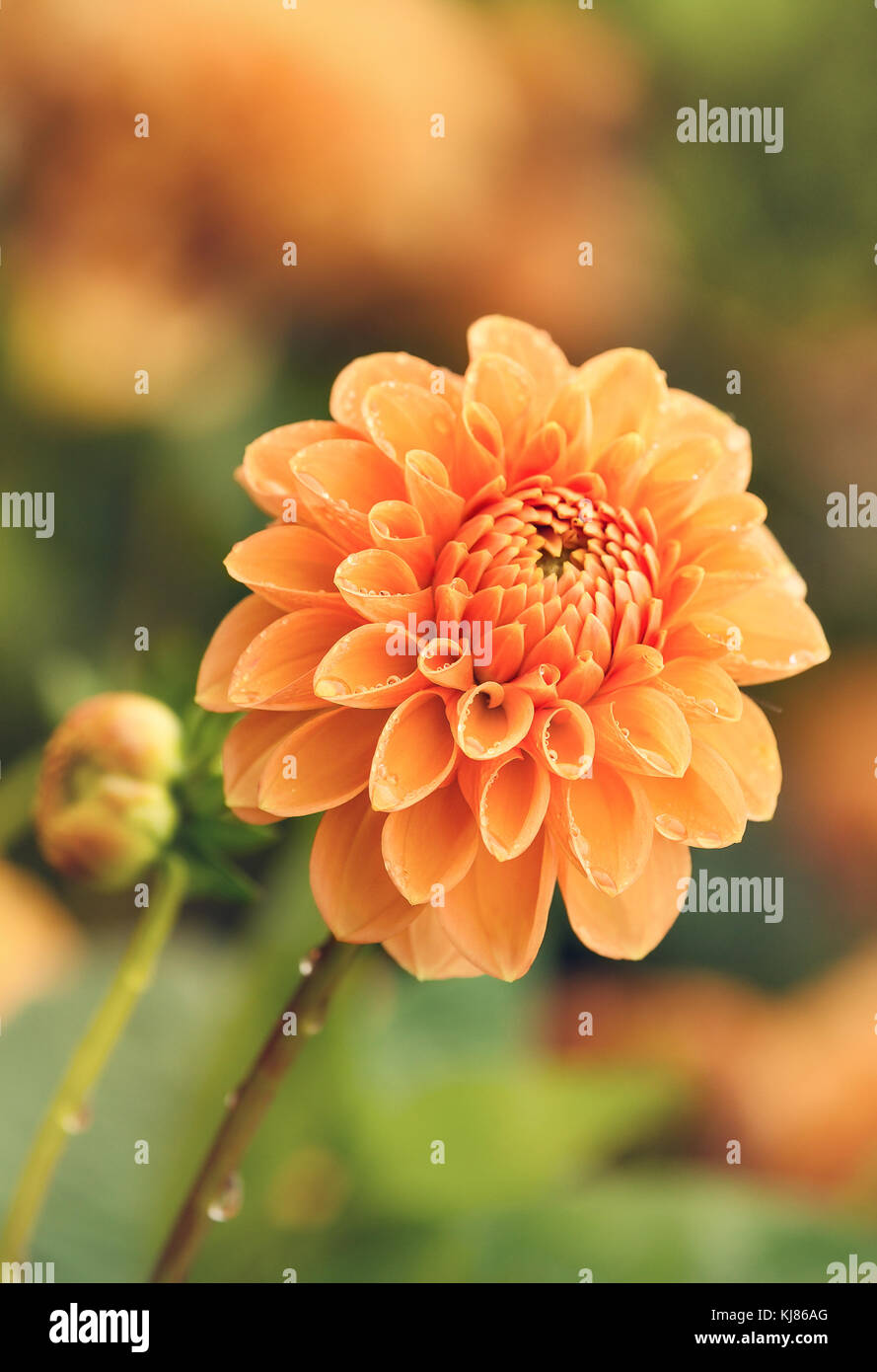 Yellow Dahlia Flower Blooming In Late Autumn Water Drops On Petals