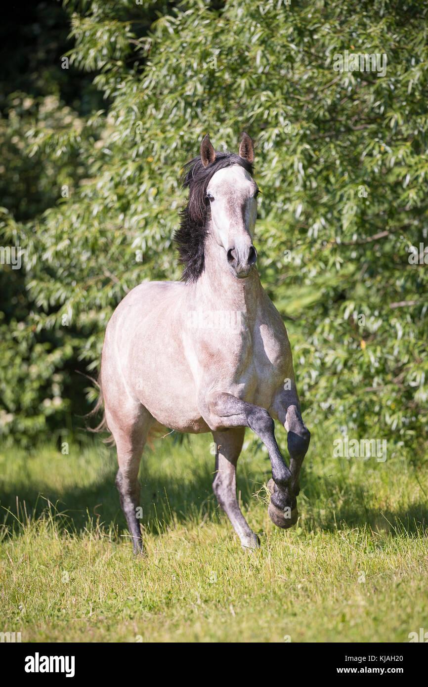 Strawberry Roan Horse Stock Photos & Strawberry Roan Horse ... - photo#36