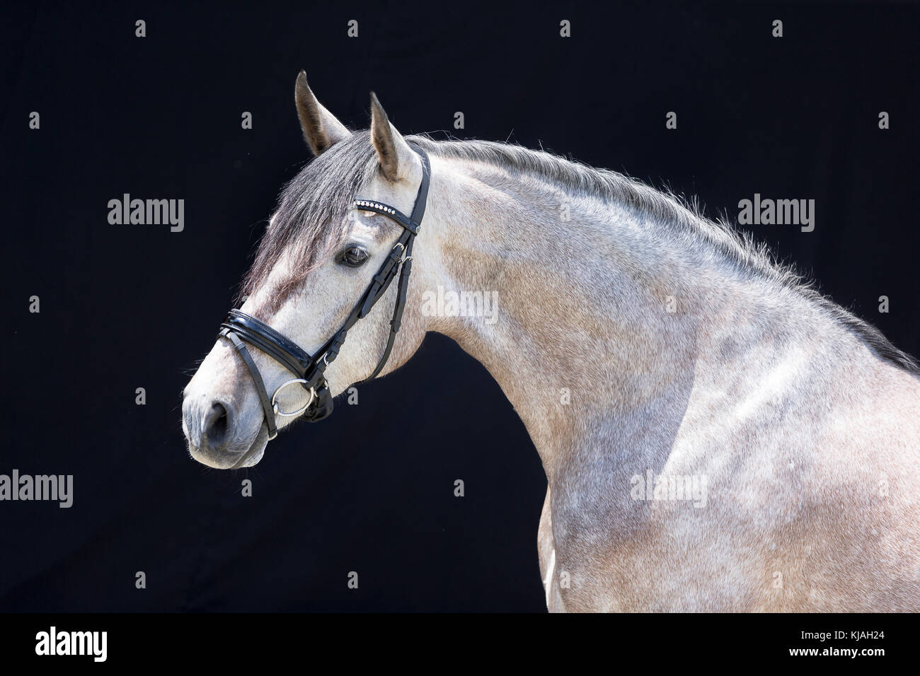 Strawberry Roan Horse Stock Photos & Strawberry Roan Horse ... - photo#41
