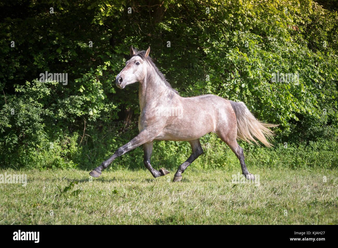 Strawberry Roan Horse Stock Photos & Strawberry Roan Horse ... - photo#21
