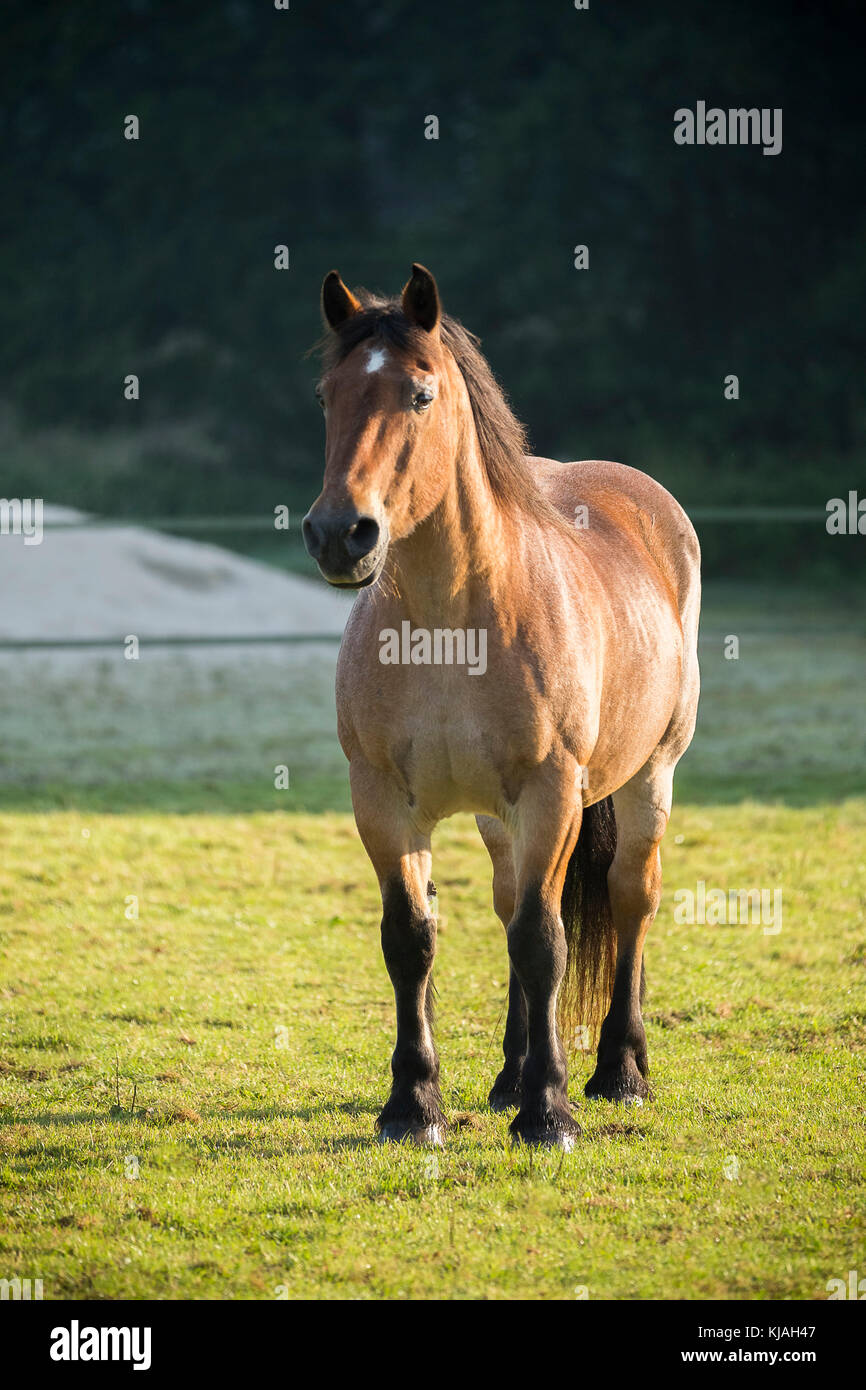 Strawberry Roan Horse Stock Photos & Strawberry Roan Horse ... - photo#31