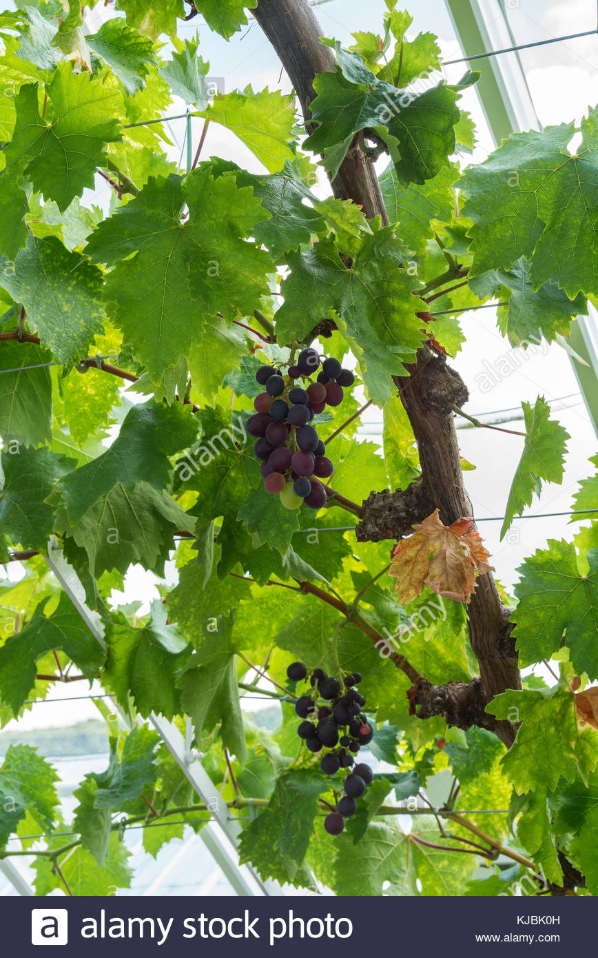 how to grow grapes in melbourne
