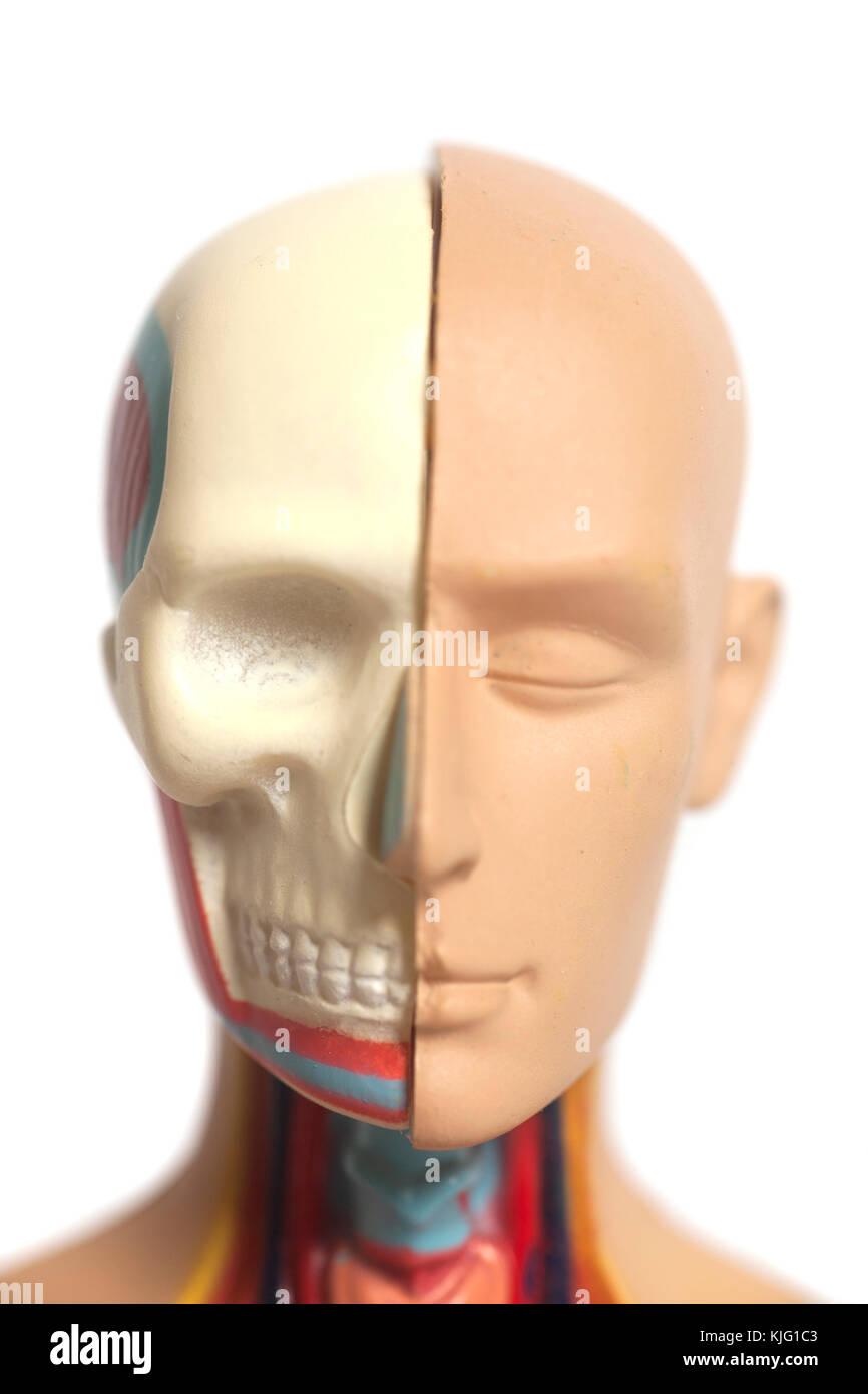 Human Head Anatomy Model Isolated On White Background Stock Photo