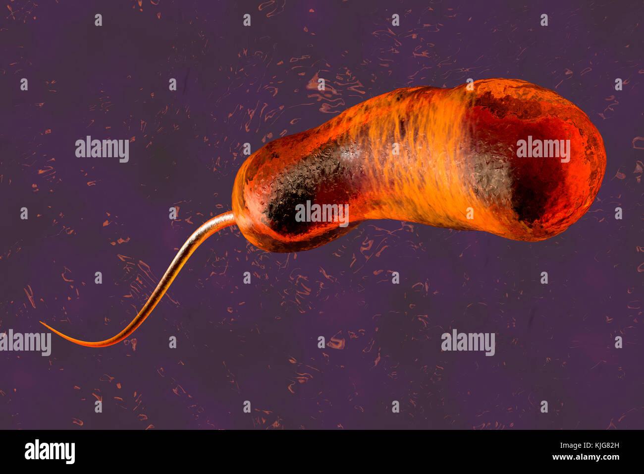 vibrio cholerae bacterium stock photos & vibrio cholerae ... vibrio diagram