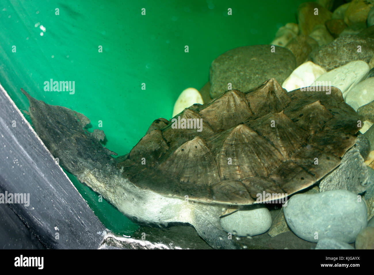 Mata mata turtle on exhibit in zoo stock photo 166316974 alamy mata mata turtle on exhibit in zoo publicscrutiny Choice Image