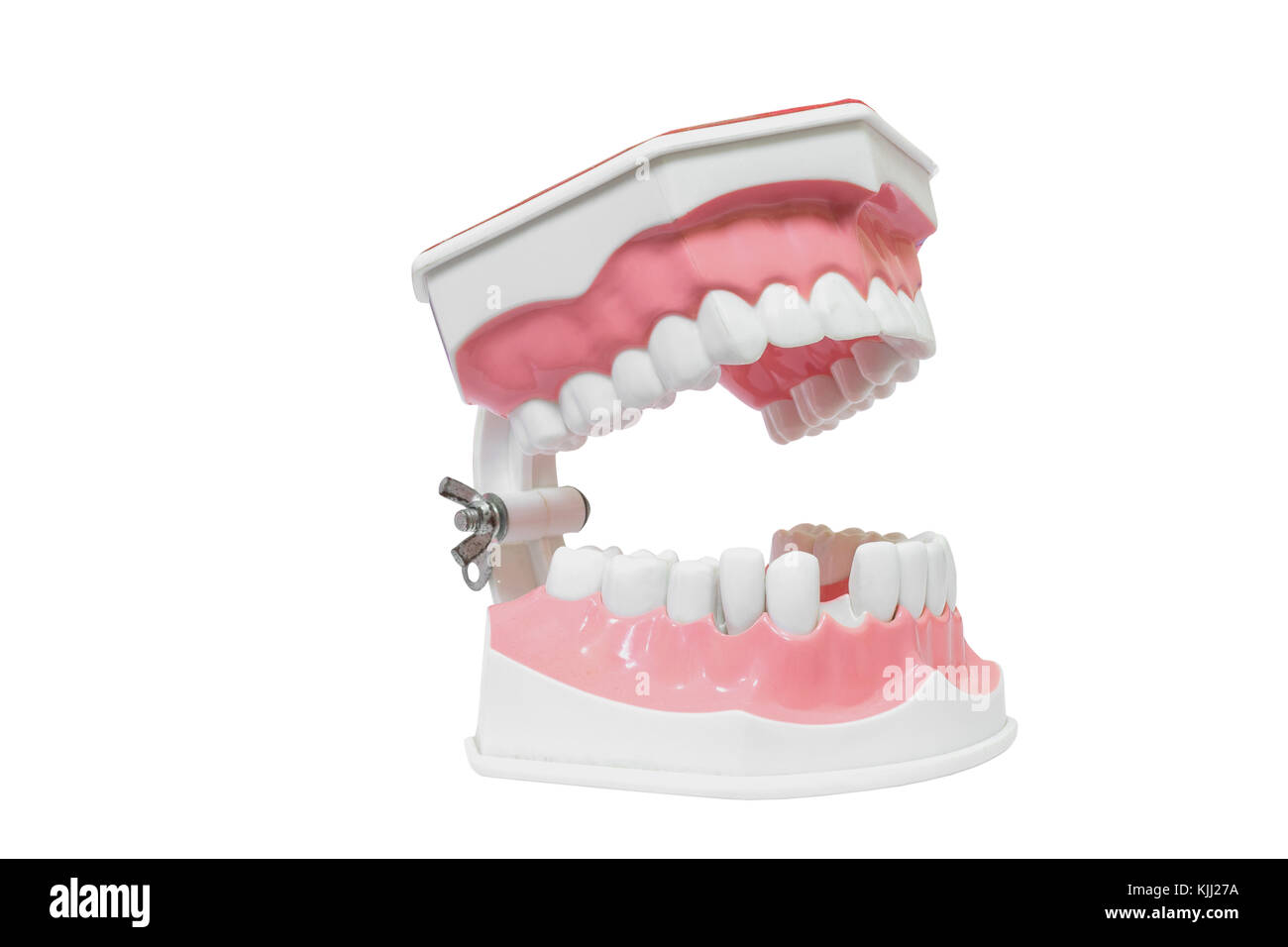 Dental Model of Teeth Isolated on white background clipping path ...