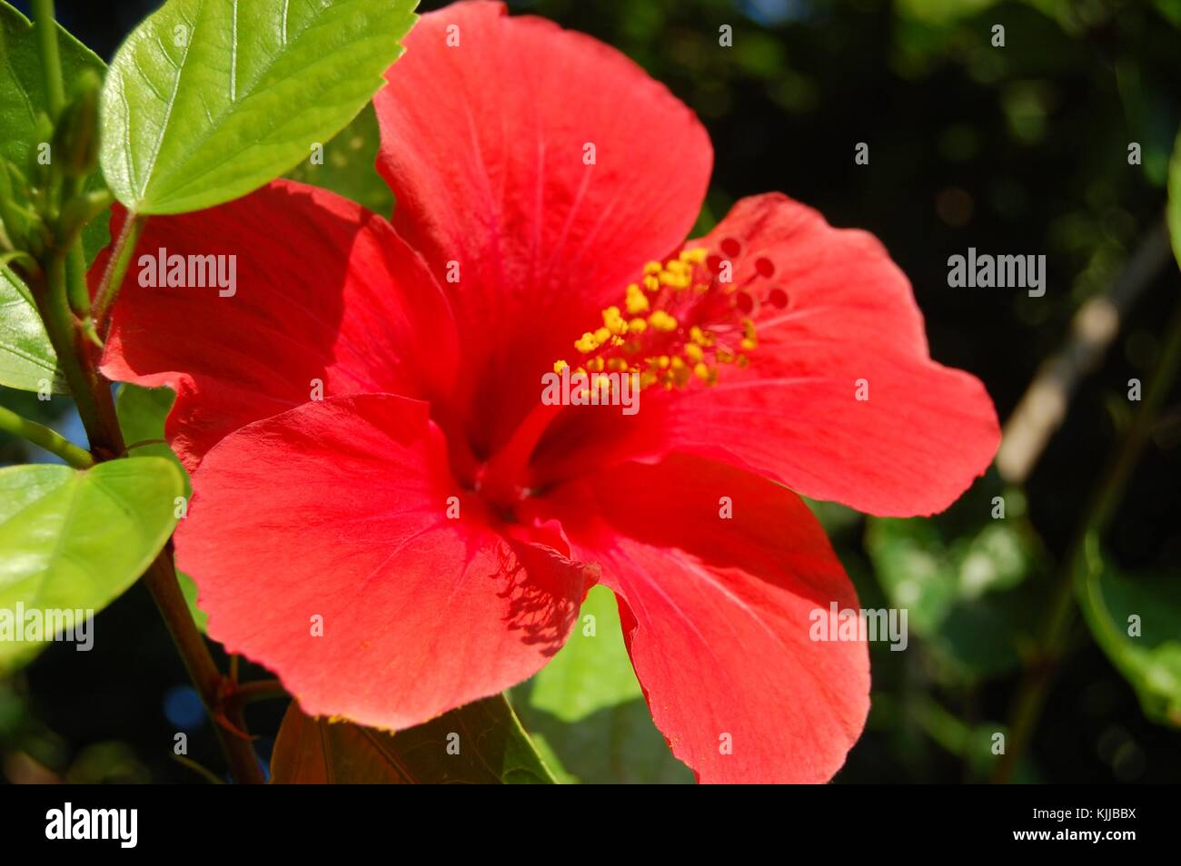 Red hibiscus flower hawaiian national symbol summer plant stock red hibiscus flower hawaiian national symbol summer plant blossoming izmirmasajfo