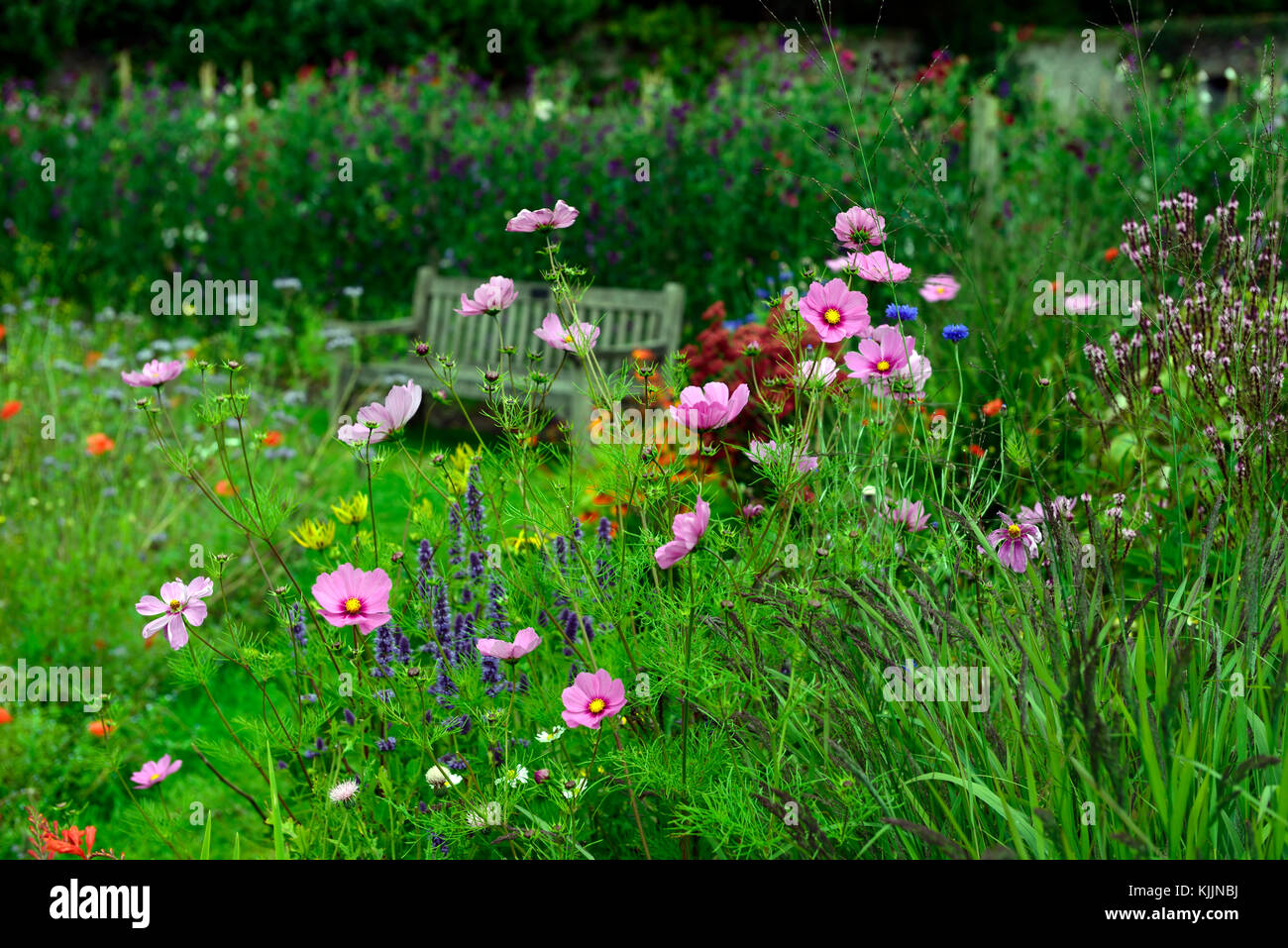 Cosmos flower single pink annualannuals flower flowers stock cosmos flower single pink annualannuals flower flowers flowering rm floral izmirmasajfo Gallery