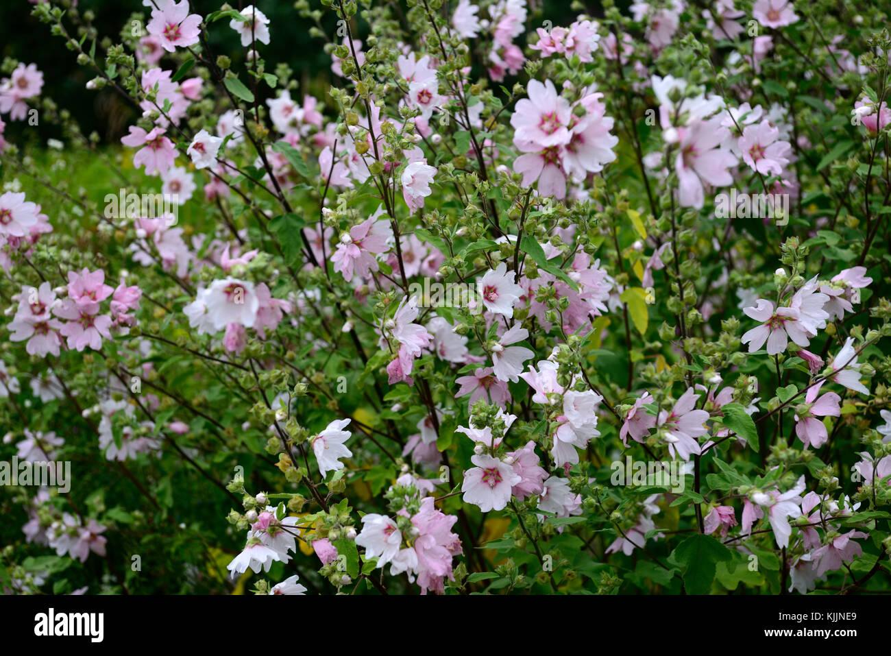 Lavatera barnsley bush mallow pink white flower flowers stock lavatera barnsley bush mallow pink white flower flowers flowering perennial shrub rm floral mightylinksfo