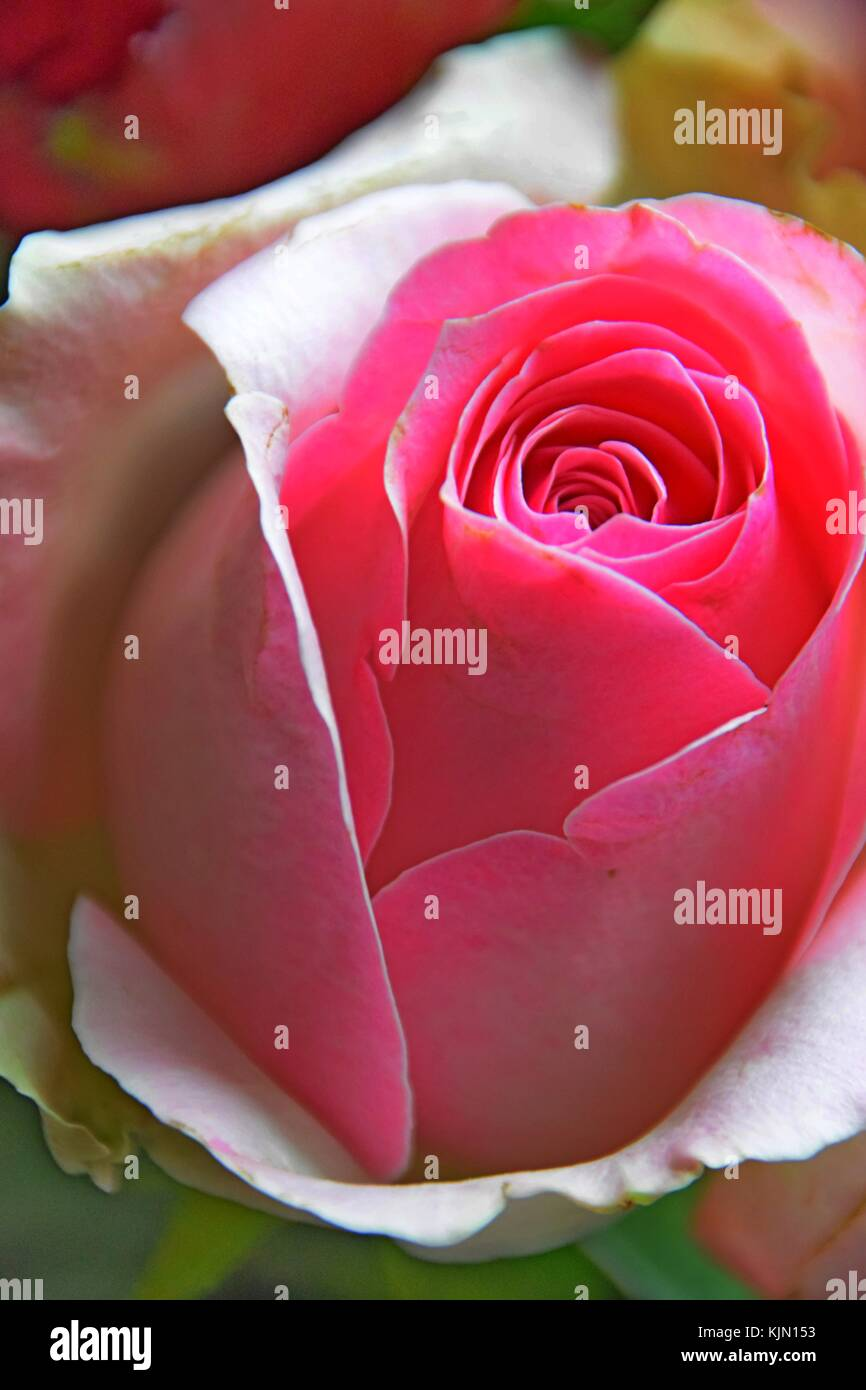 The rose as a symbol of love perfect impressions stock photo the rose as a symbol of love perfect impressions biocorpaavc Images