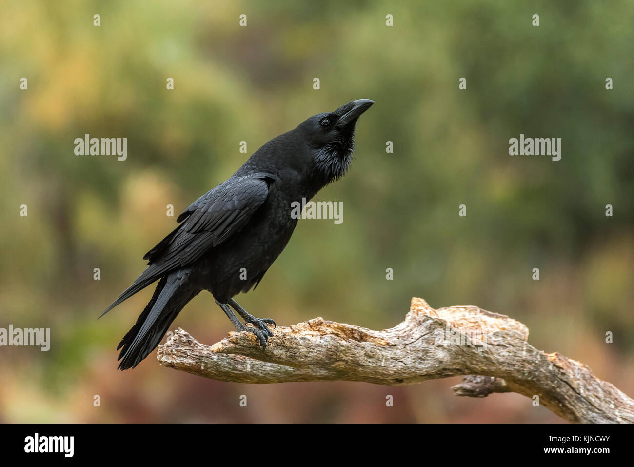 The use of referential gestures in ravens ( Corvus corax ...