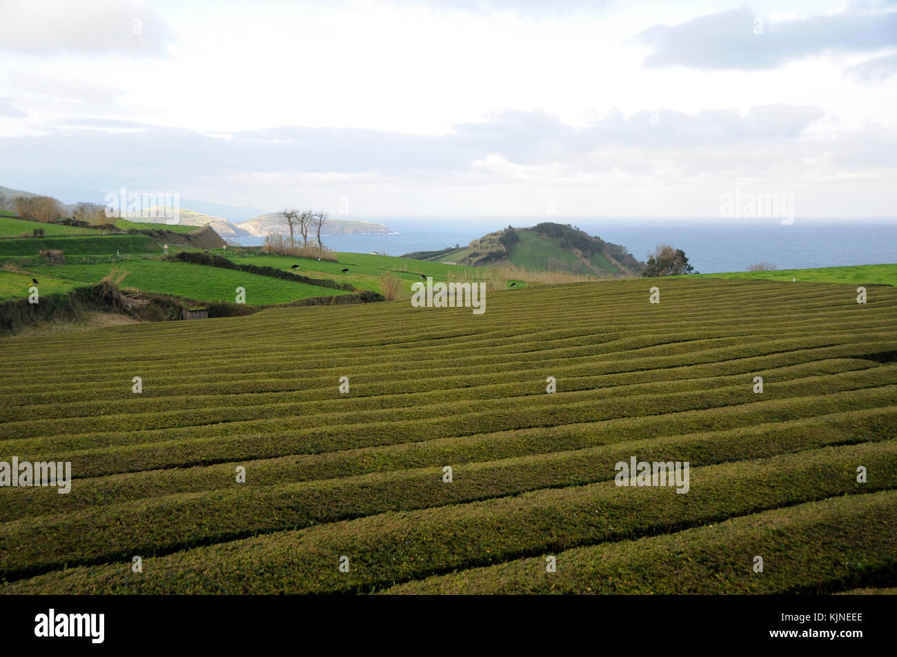 tea cultivation India recorded total production of 123314 million kg made tea during 2015–2016, which is the highest ever production so farsince it is an intensive monoculture, tea cultivation has environmental impacts.