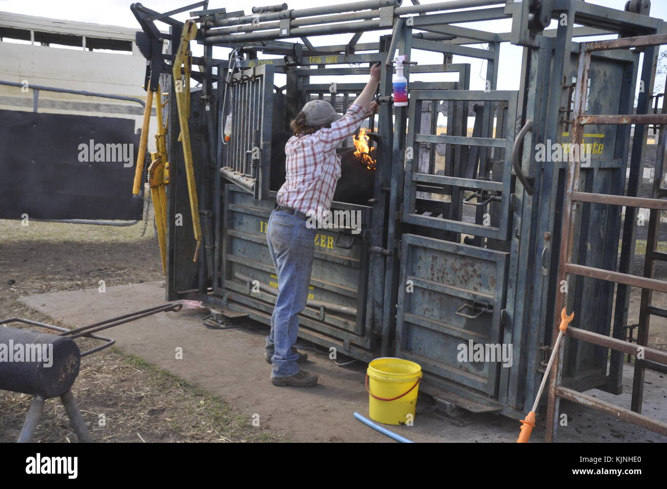 Cow branding stock photos cow branding stock images alamy branding the cattle on an australian cattle station stock image buycottarizona