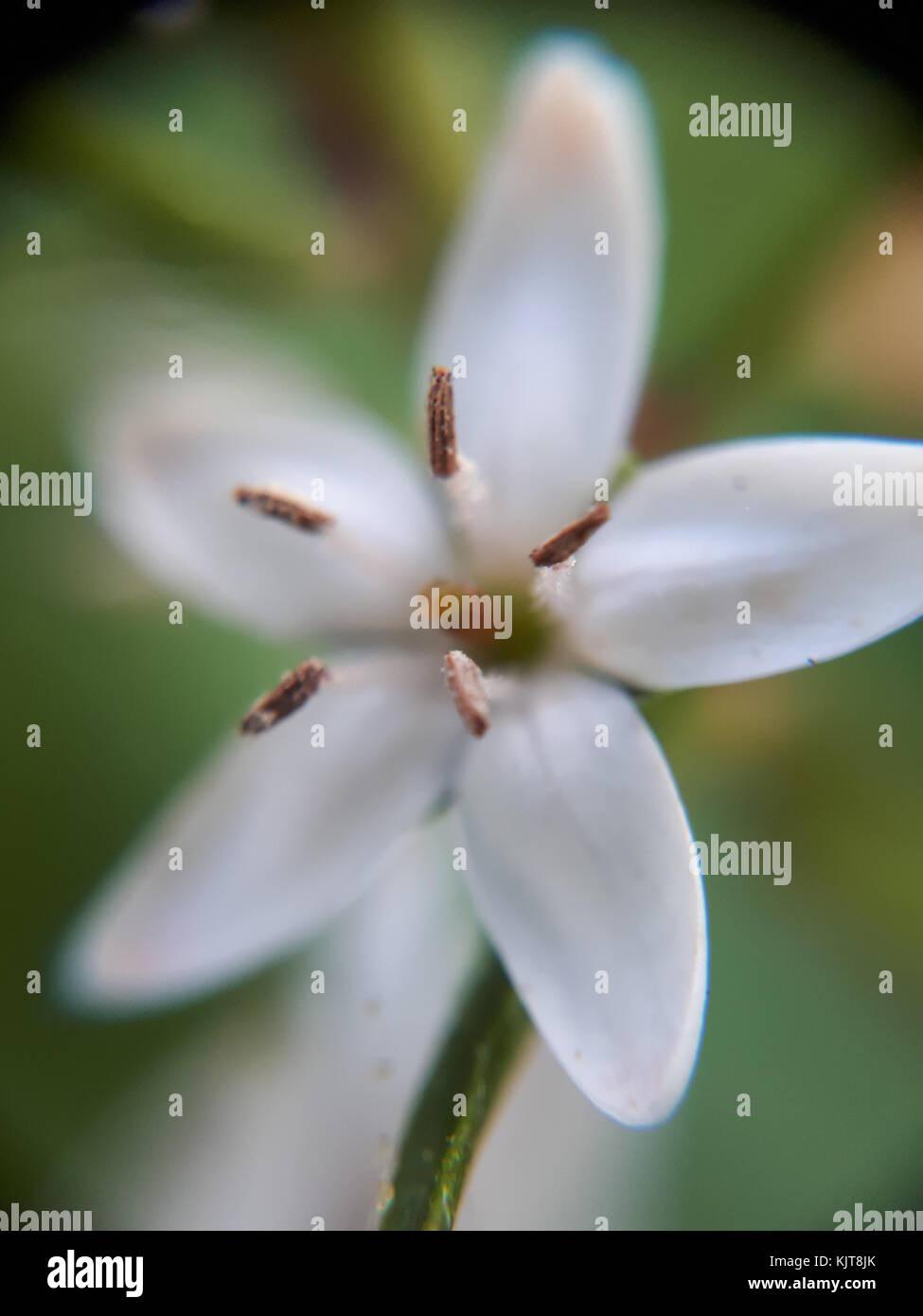 Pretty White Flower Close Up Macro With Five Petals In A Devon