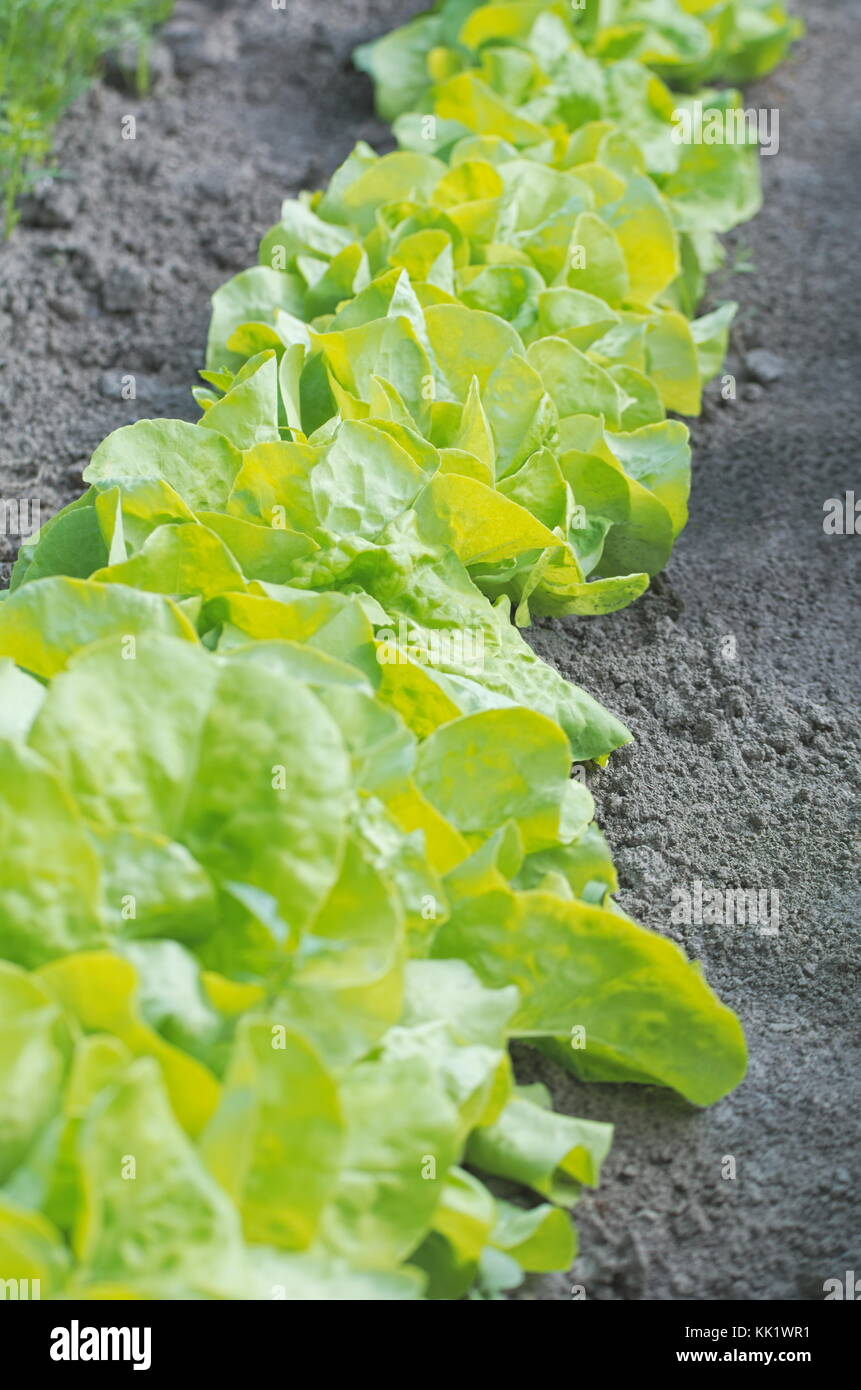 Fresh Green Salad Plant Row in the Garden Stock Photo Royalty Free