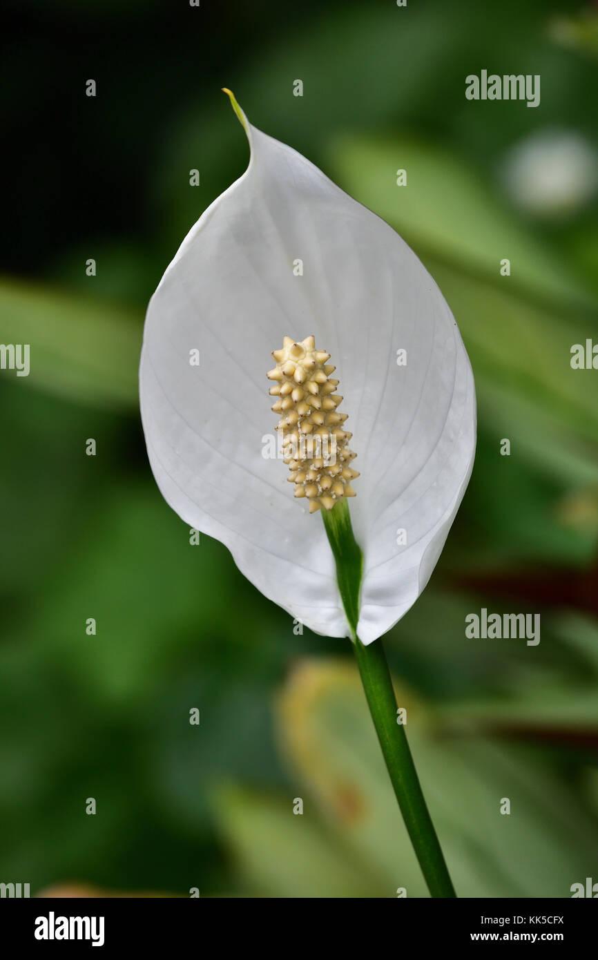 An australian peace lily flower stock photo 166691390 alamy an australian peace lily flower izmirmasajfo