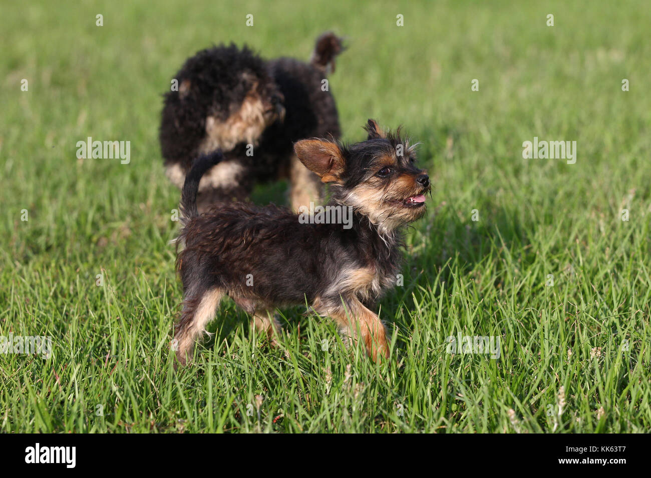 Yorkiepoo Yorkshire Terrier X Poodle Dogs Stock Photo 166706519 Alamy