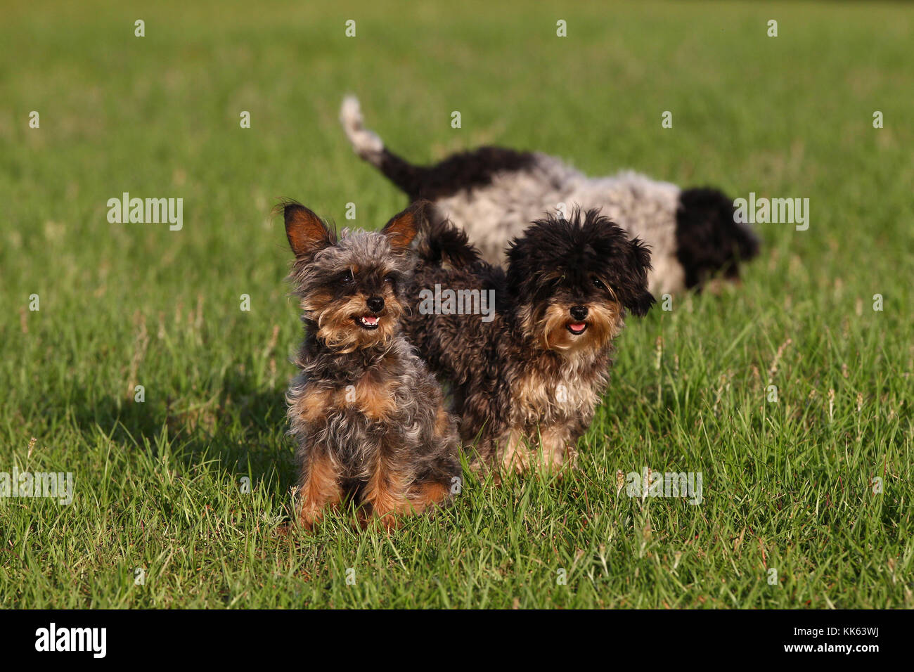 Yorkiepoo Yorkshire Terrier X Poodle Dogs Stock Photo 166706558 Alamy