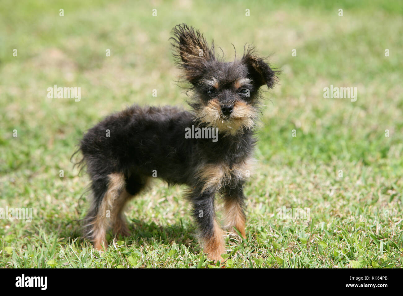 Yorkiepoo Yorkshire Terrier X Poodle Puppy Stock Photo 166707251
